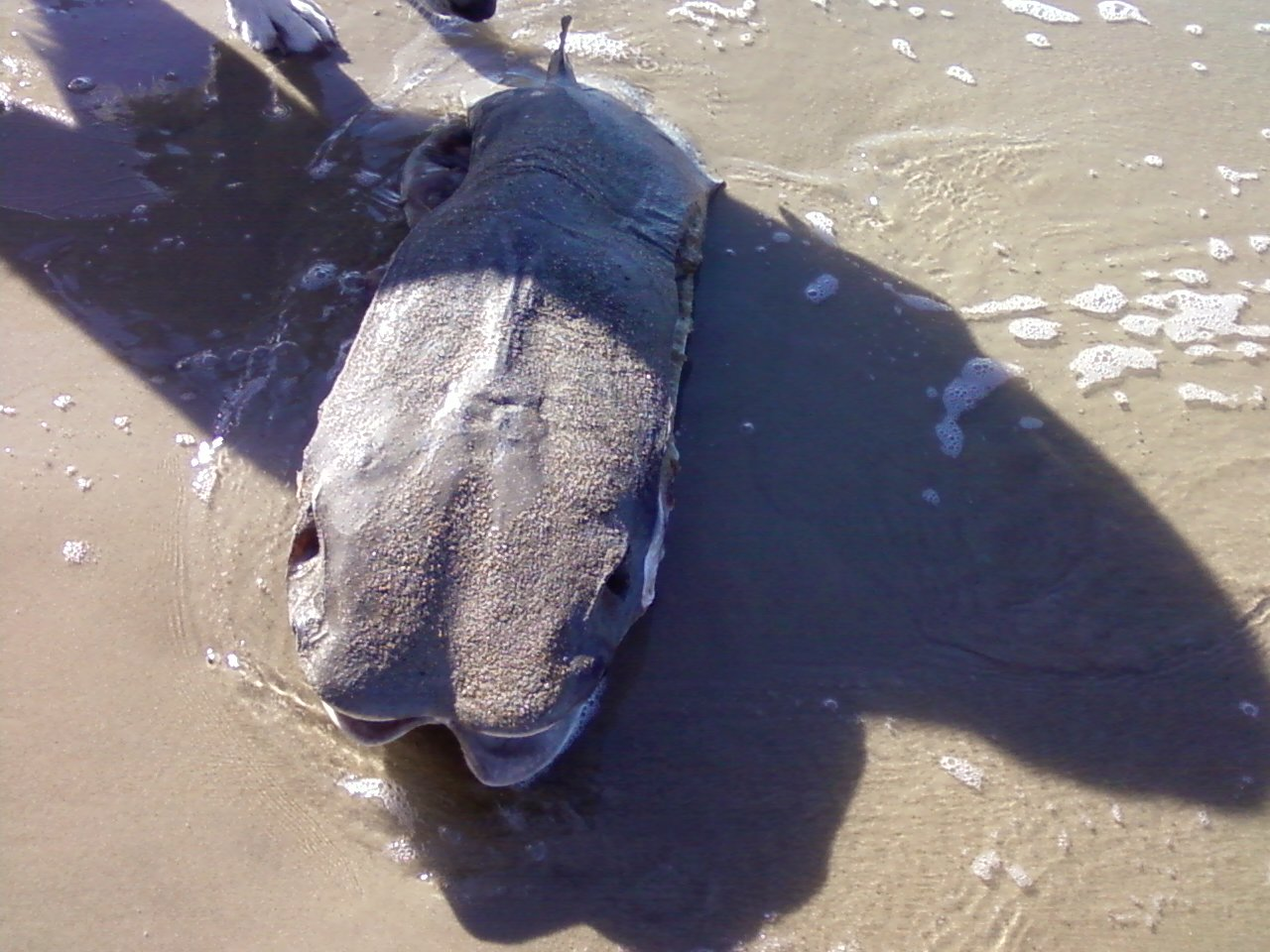 Prehistoric fish washed up on shore - photo#1